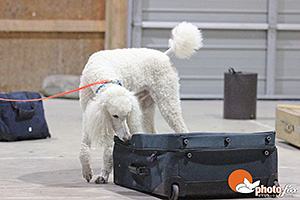 poodle dog sniffing suitcase